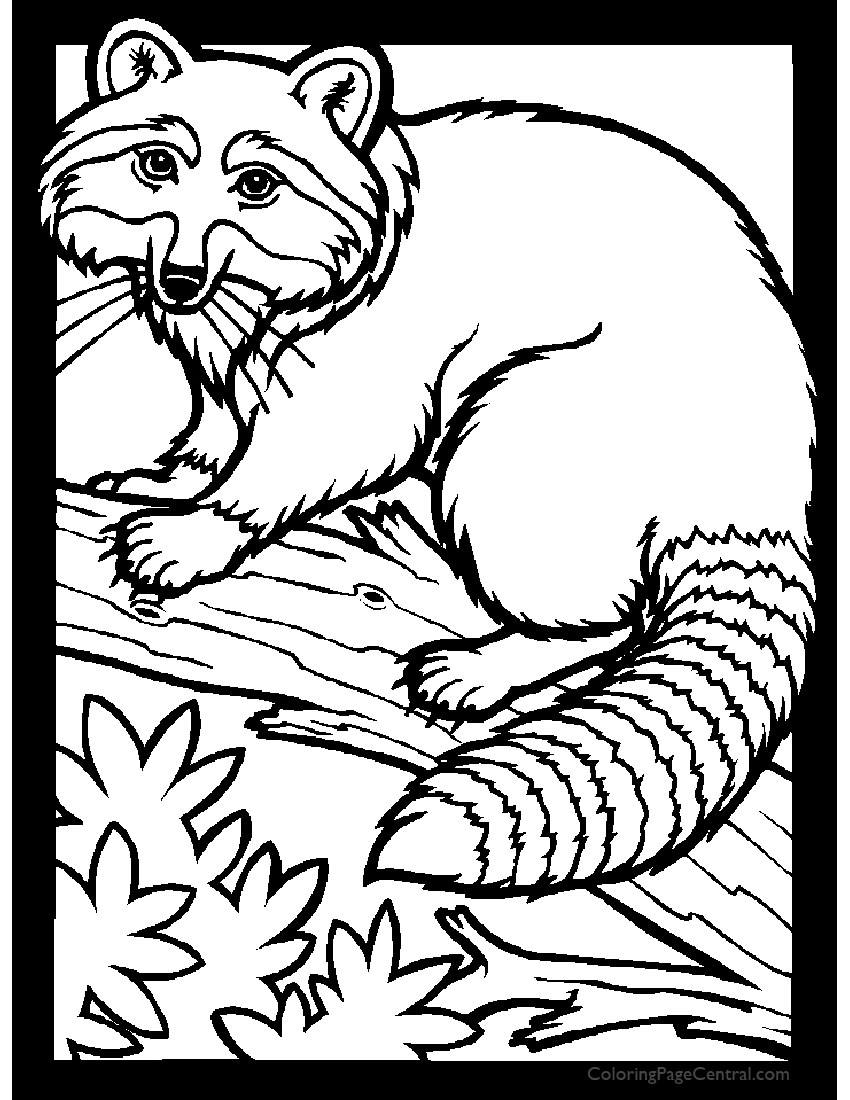 Coloring pages raccoon